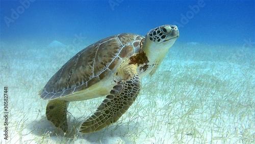 Green Sea Turtle Belize Slika na platnu
