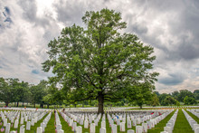 An Enormous Tree Seems To Stand Guard Over Graves  At Arlington National Cemetery, Arlington, VA, Memorial Day 2018.