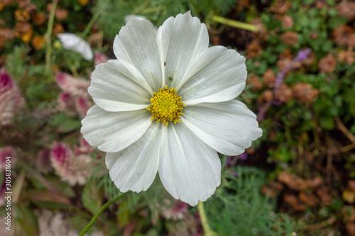 屋外に咲いた白いコスモスの花