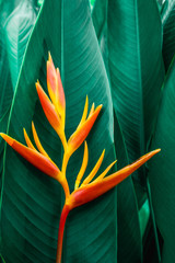 Fototapeta Liście colorful exotic flower on dark tropical foliage nature background, tropical leaf