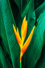 Panel Szklany Liście colorful exotic flower on dark tropical foliage nature background, tropical leaf