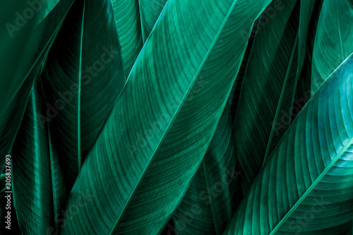 Wall mural - green leaf texture, dark green foliage nature background, tropical leaf