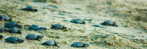 Baby sea turtles just released and on a mission to reach the safety of the ocean Canvas-taulu