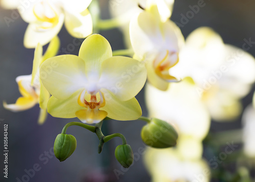 Fototapeta Close-up yellow orchid on blur background and copy space. obraz