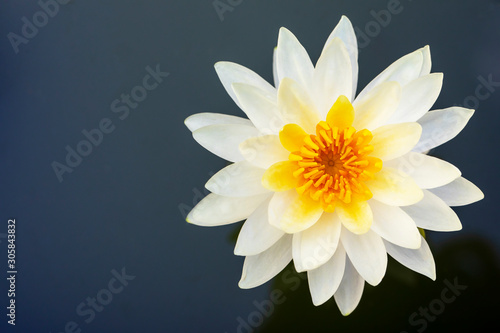 Yellow lotus flower blooming and copy space.