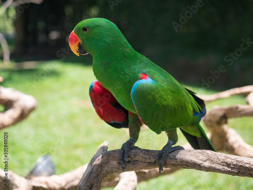 Montage in der Fensternische Eule Indonesia, november 2019: The eclectus parrot (Eclectus roratus), portrait of the green male eclectus with color background.