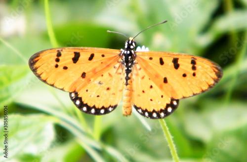 Pinturas sobre lienzo  Moth Butterfly (Rhopalocera) Insect Animal on Green Plant Leaves