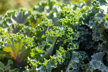 Leaves Of Decorative Cabbage O...