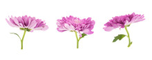 Set Of Blooming Purple Chrysanthemums Closeup Isolated On White Background