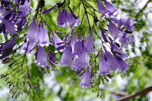 Jacaranda Purple Flowers In Th...
