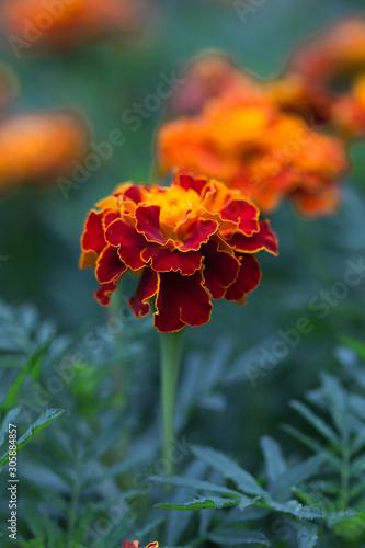 marigold flowers (Tagetes erecta, Aztec, African marigold flower) Canvas Print