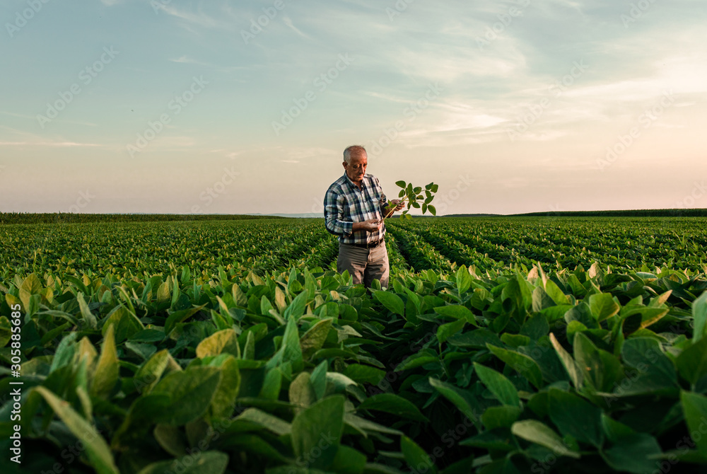Fototapeta Senior farmer standing in soybean field examining crop at sunset.