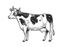 Cow Sketch. Hand Drawn Illustration Converted To Vector. Isolated On White Background
