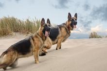 Two German Shepherd Dog Stand ...