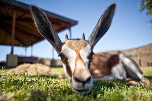 Garden Poster Antelope Bock