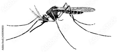 Mosquito - Vintage Engraving Illustration Canvas Print