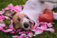 Romantic Concept For Valentine's Day With Red Heart And Dog On Roses Petals