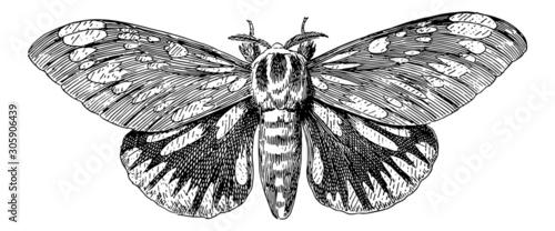 Fotografie, Obraz Regal Moth (Citheronia Regalis) - Vintage Engraving Illustration