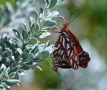 Gulf Fritillary Butterflies Ma...