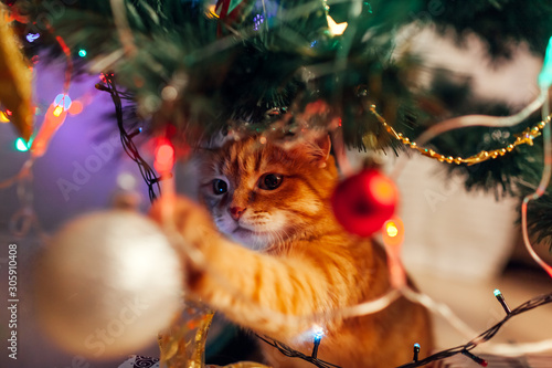 Ginger cat sitting under Christmas tree and playing with toys and lights. Christmas and New year concept - 305910408