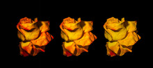 Collage Of Three Surrealistic Vintage Red Yellow Rose Blossoms, Aged Single Isolated Blooms,black Background,vintage Painting Style