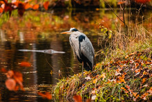 Colorful Picture With Heron In Autumn Forest