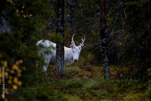 Fotografia, Obraz  Reindeer inside the forest in Lapland, Finland