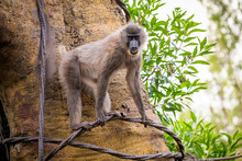 Cherry-crowned Mangabey Monkey, Also Known As The Red-capped Mangabey, Collared Mangabey, Or The White-collared Mangabey