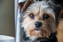 Closeup Of A Yorkshire Terrier