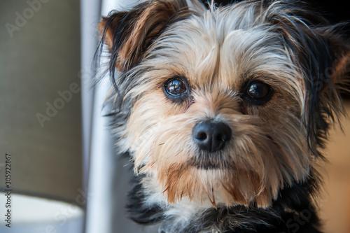 Obraz Closeup of a Yorkshire terrier - fototapety do salonu