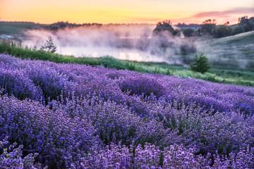 Obraz na SzkleColorful flowering lavandula or lavender field in the dawn light.