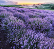 Leinwanddruck Bild - Colorful flowering lavandula or lavender field in the dawn light.