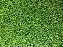 Common Duckweed, A Tiny Aquati...