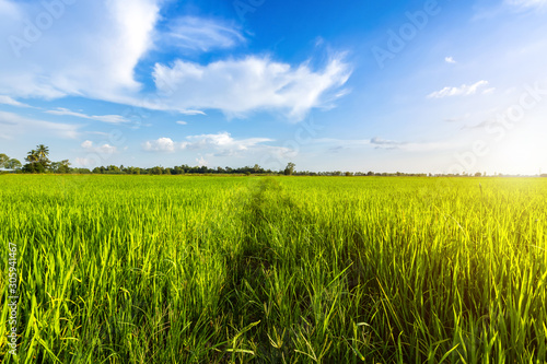 Beautiful green field cornfield or corn in Asia country agriculture harvest with sunset sky background Fototapet