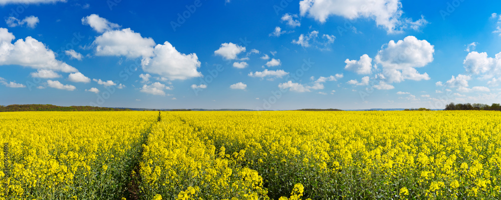 Fototapeta Path through blooming canola under a blue sky with clouds