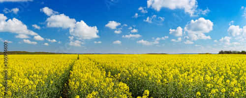 Fototapeta Path through blooming canola under a blue sky with clouds obraz