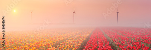 Fotografia, Obraz  Sunrise and fog over rows of blooming tulips, The Netherlands