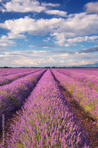 Fototapeta Blooming fields of lavender in the Provence, southern France obraz na płótnie