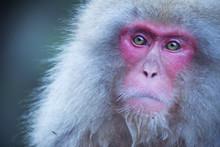 Japanese Snow Monkey In Jigoku...