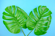 Monstera leaves summer on blue background with space foe text. Top view.