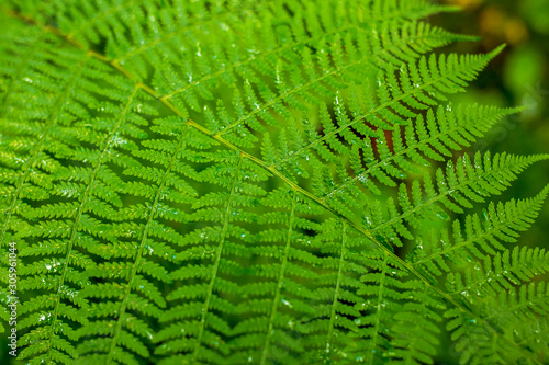Green leaf fern closeup. Perfect for a natural background. Canvas Print