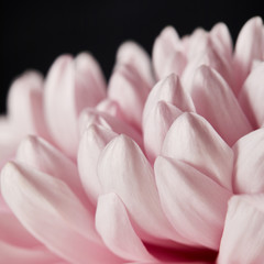 close up view of pink chrysanthemum petals isolated on black