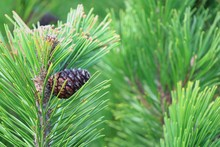 Fresh Brown Pine Cones And Green Pine Needles On Pitch Pine Tree. Selective Focus. Nature Background Concept.
