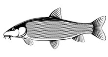 Realistic Common Barbel Fish Isolated Illustration, One Freshwater Fish On Side View