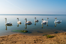 Swan Family In Autumn. A Beautiful White Swans Brood On A Blue Surface Of Water. Mother And Father And Six Juvenile Mute Swans Birds Swimming To Shore
