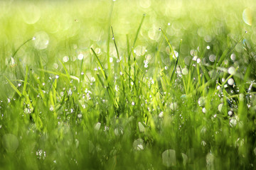 Close up photo of green grass in morning dew. Natural floral texture background. Selective focus, shallow depth of field. Beautiful natural bokeh of water drops.