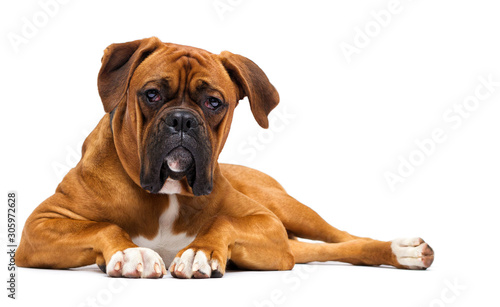 Photo  red dog boxer on isolated on a white background