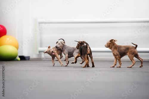 Fototapeta litter of thai ridgeback puppies playing together indoors obraz