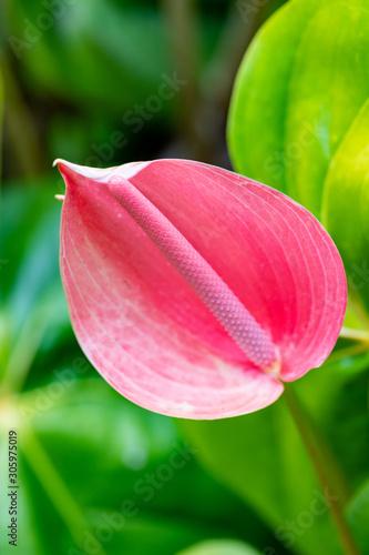 Anthurium rose des antilles Canvas Print