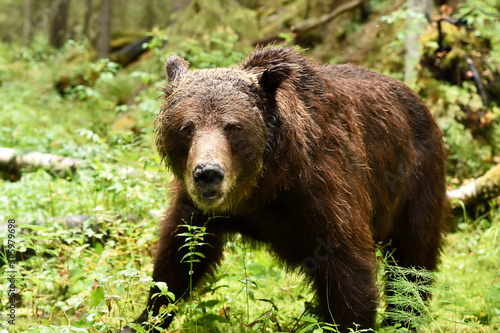 brown bear at close in the forest Canvas Print